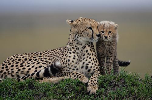 cute-animals-cheetah-cub.jpg