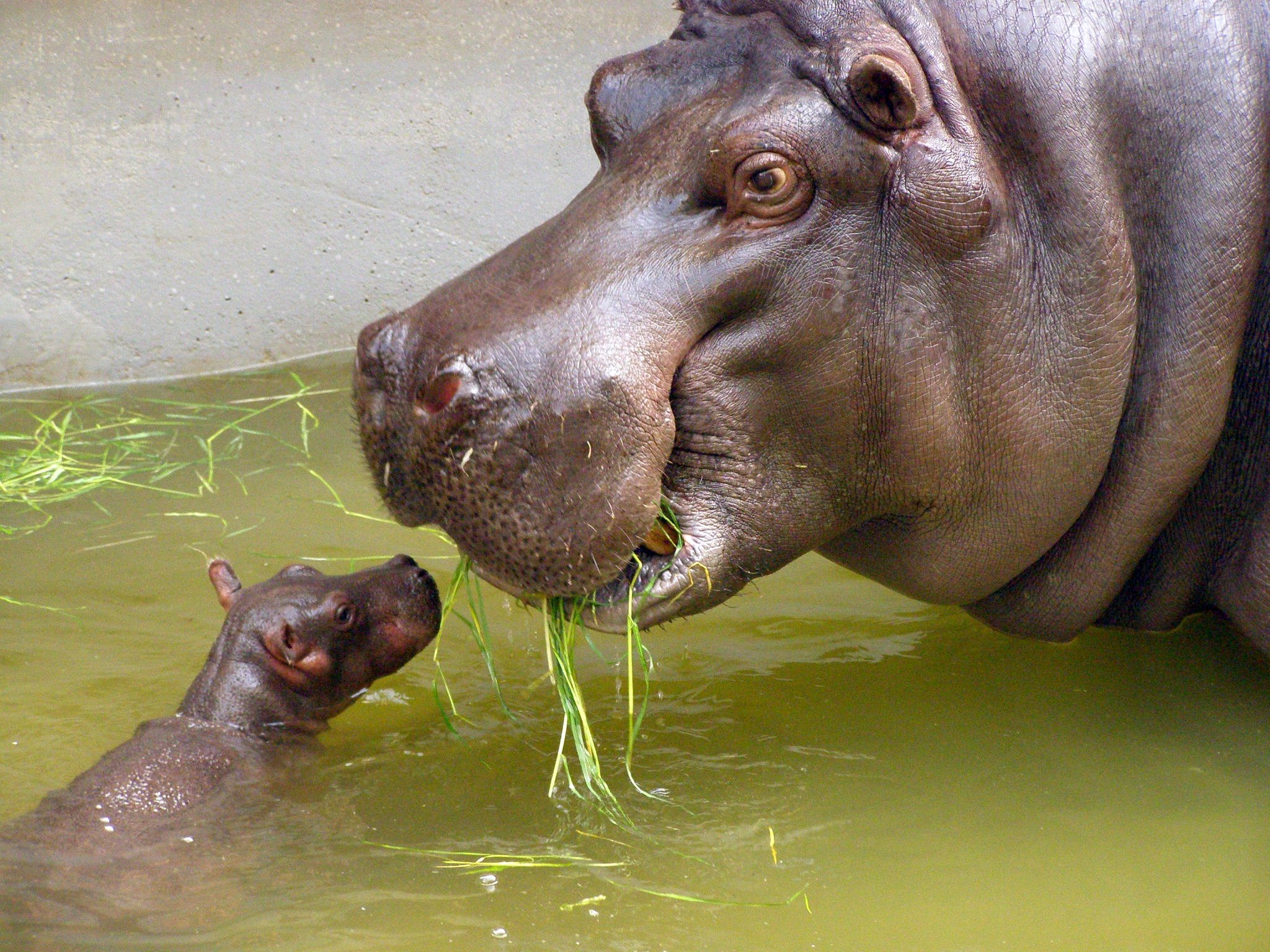 baby-hippo-with-its-mother.jpg