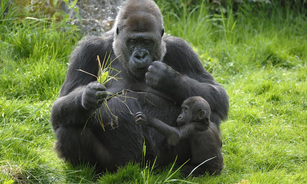 western_lowland_gorilla_7.31.2012_threats_HI_257789.jpg