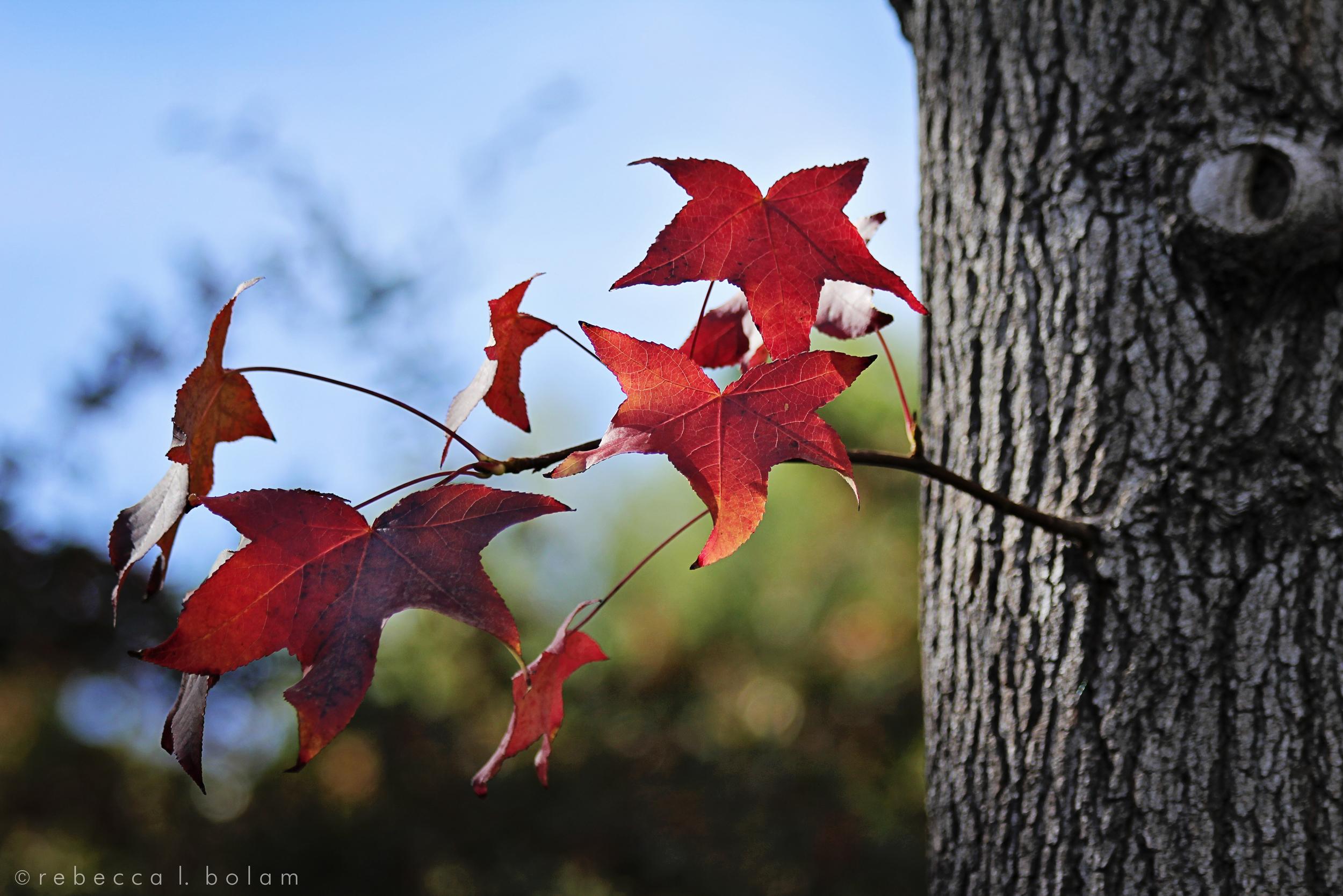a few red leaves.jpg