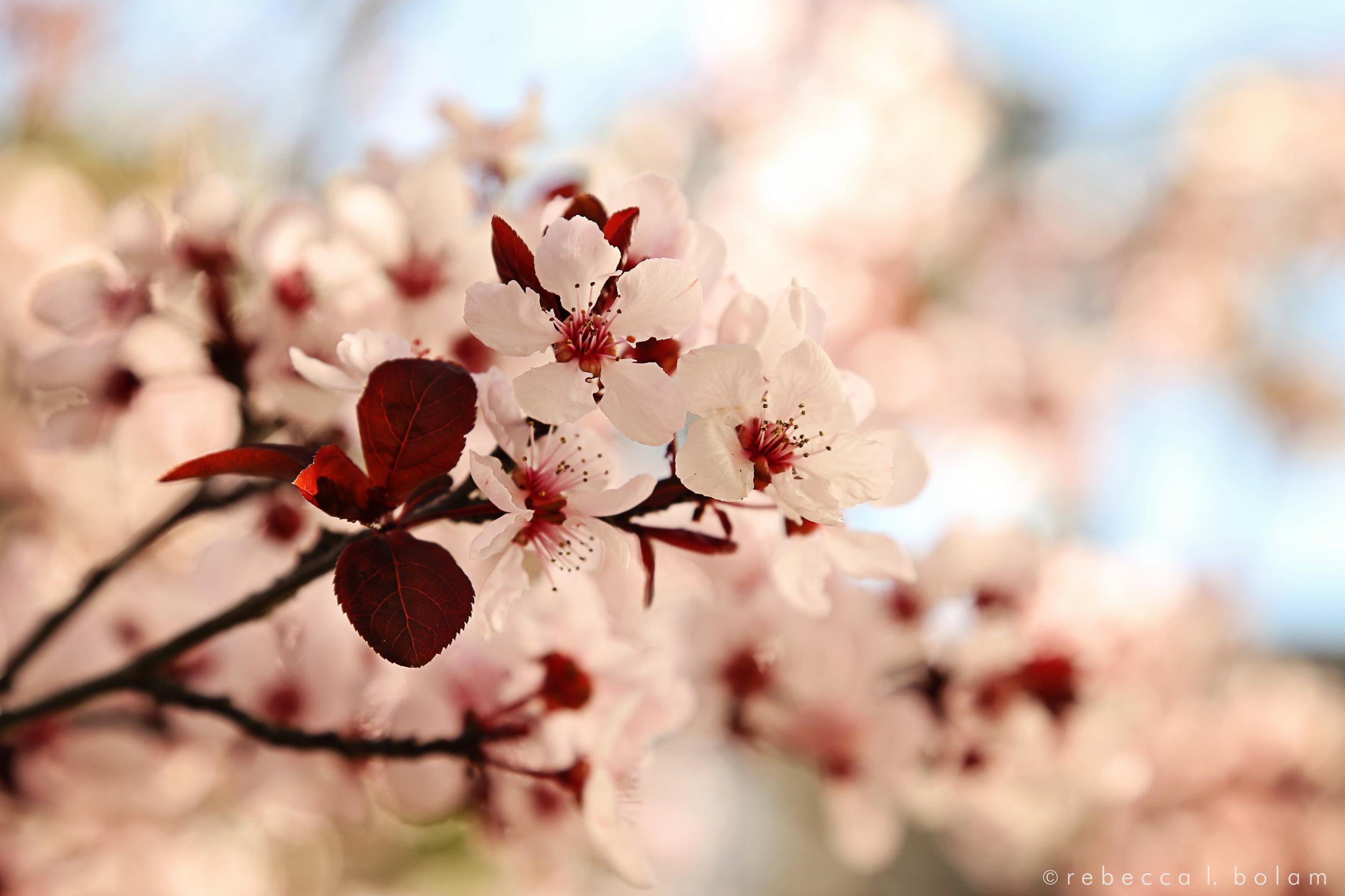 Cherry Blossoms 2016.jpg
