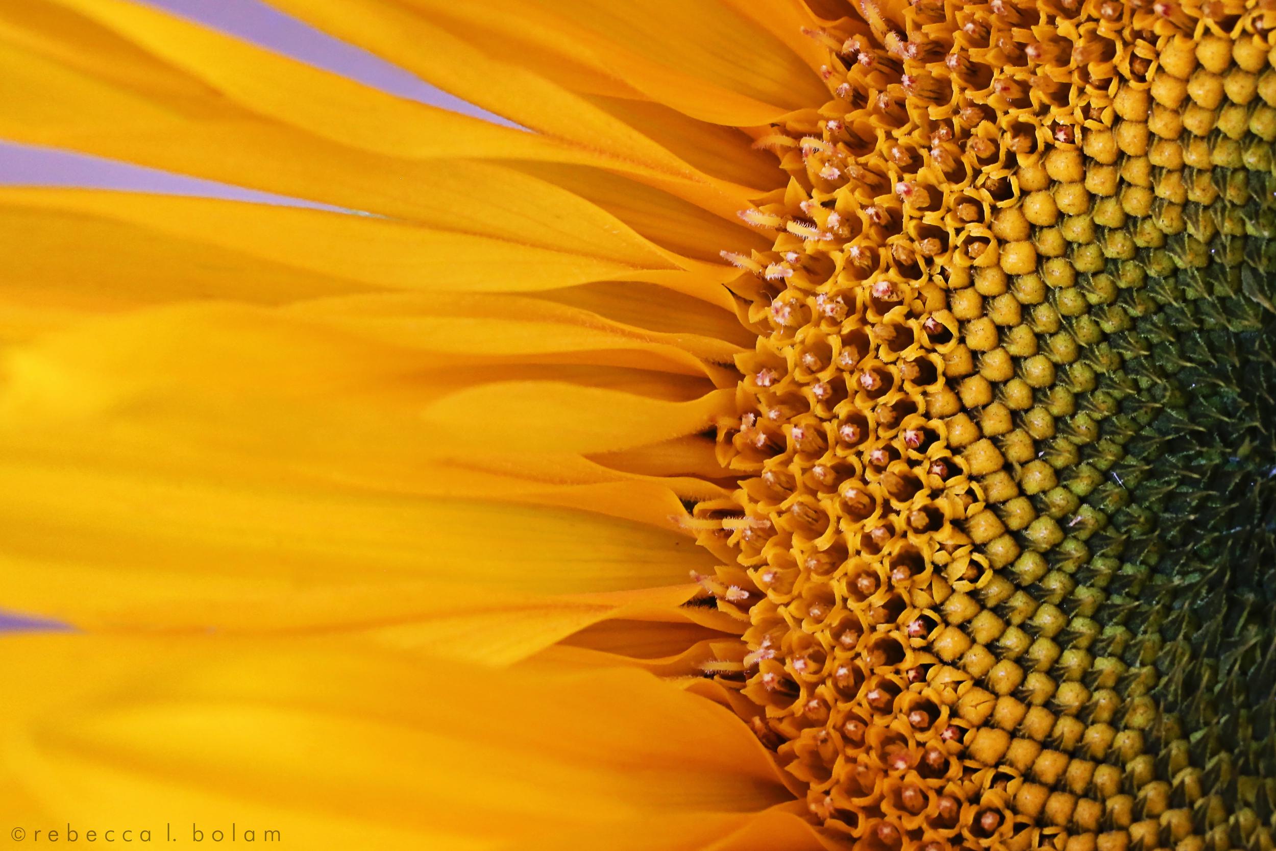 Sunflower macro.jpg