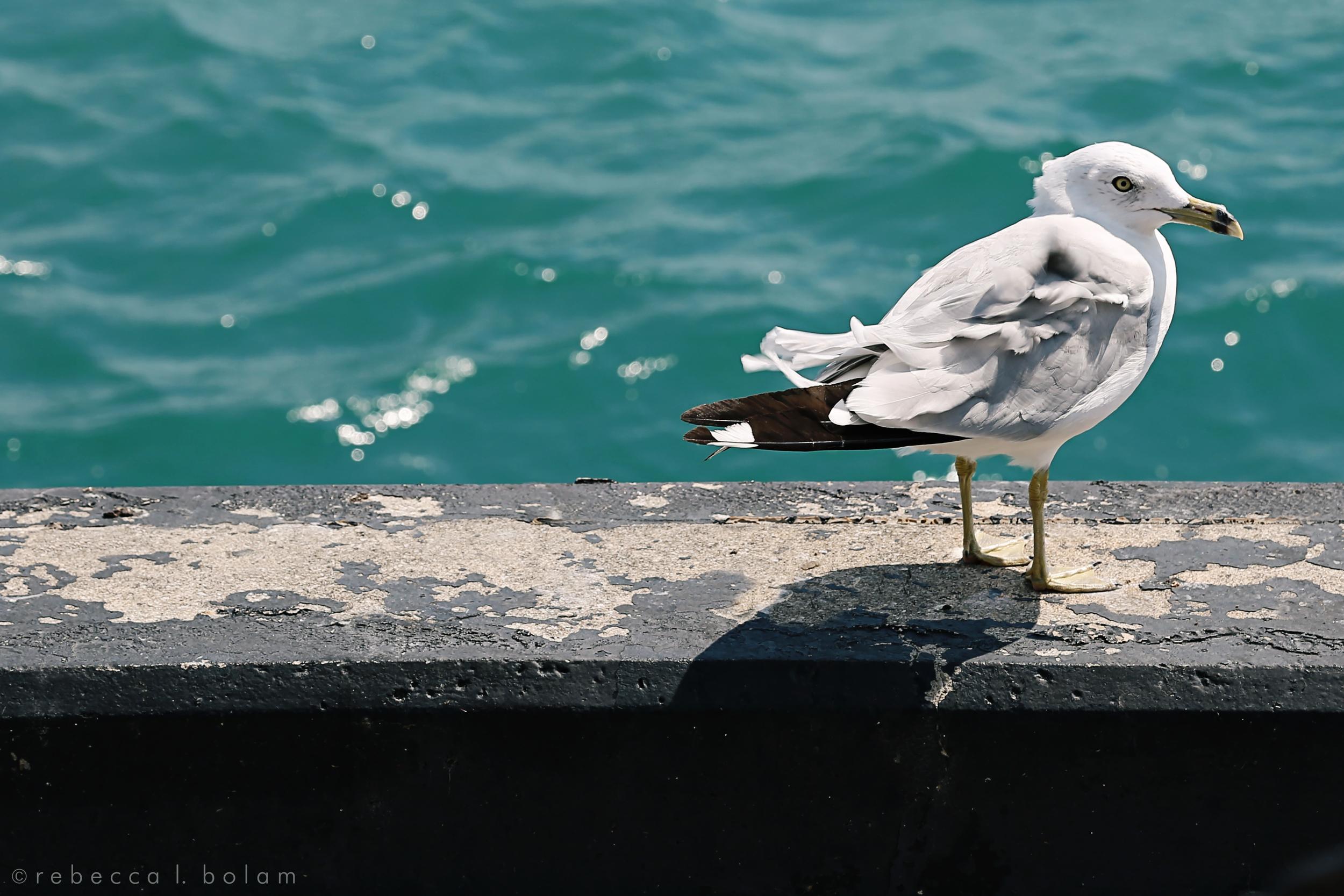 Navy Pier Seagull.jpg