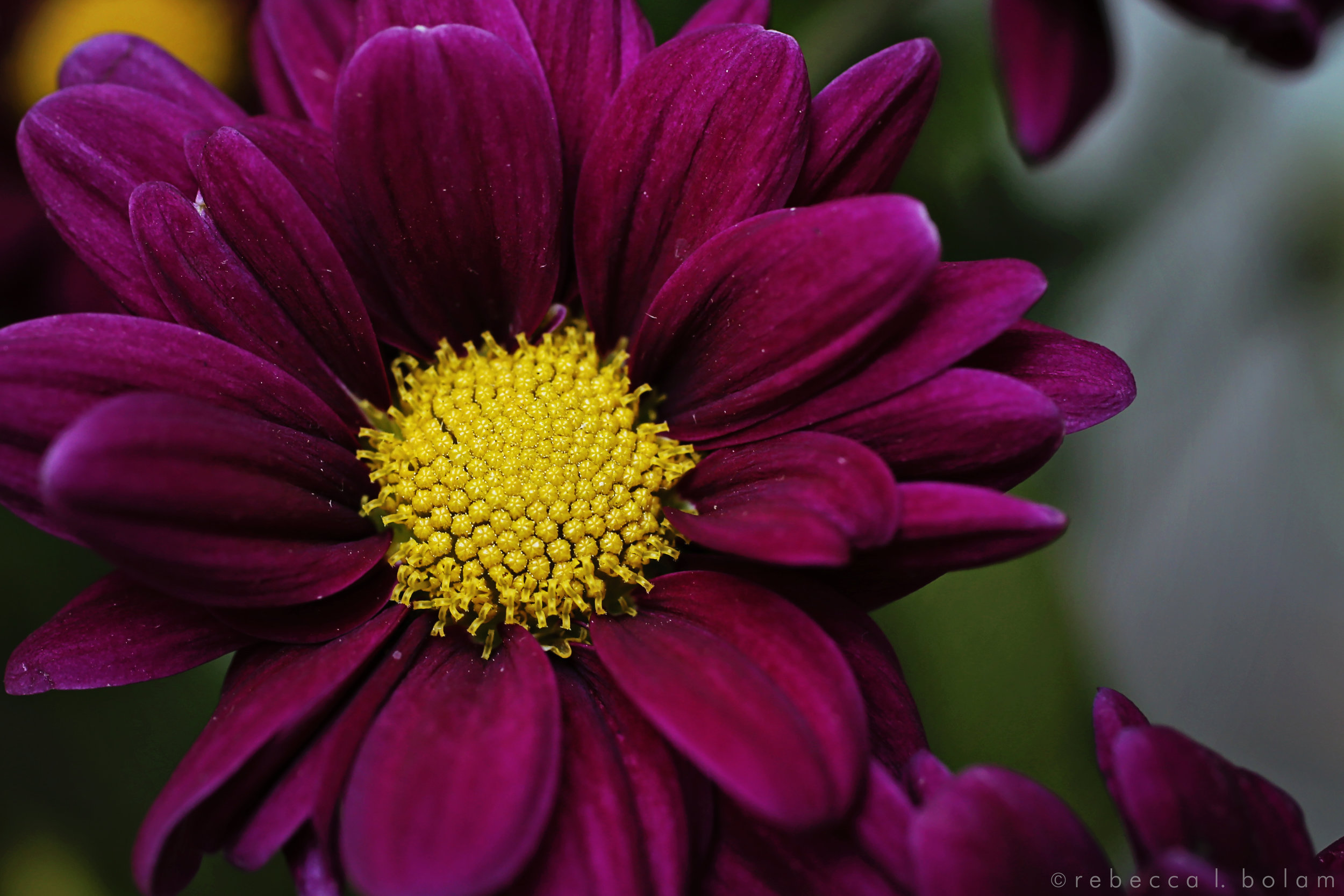 little purple flower yellow center.jpg