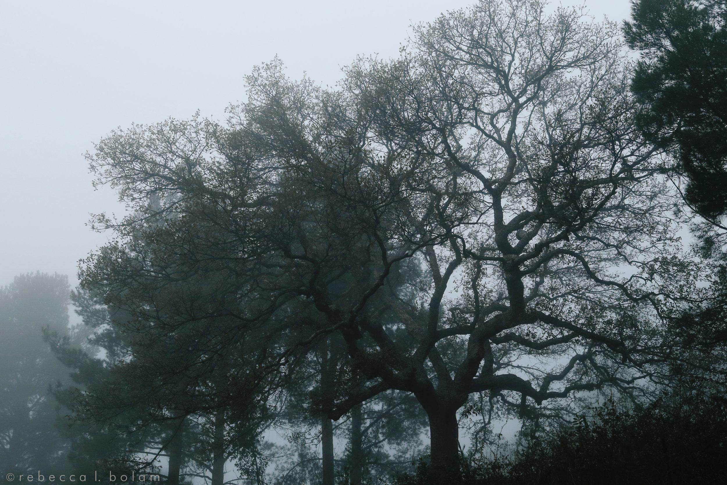 Buddys tree in the fog.jpg