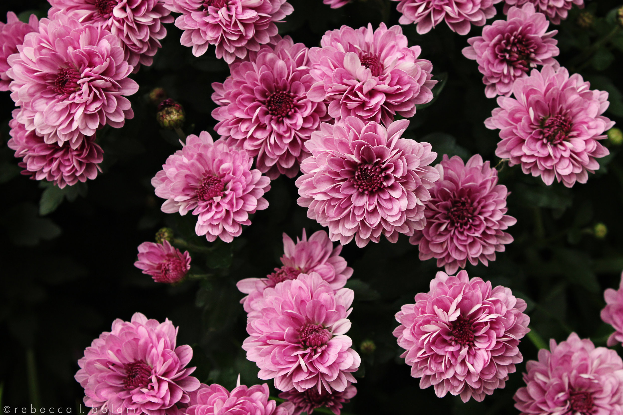 Pink flowers in Chicago.jpg