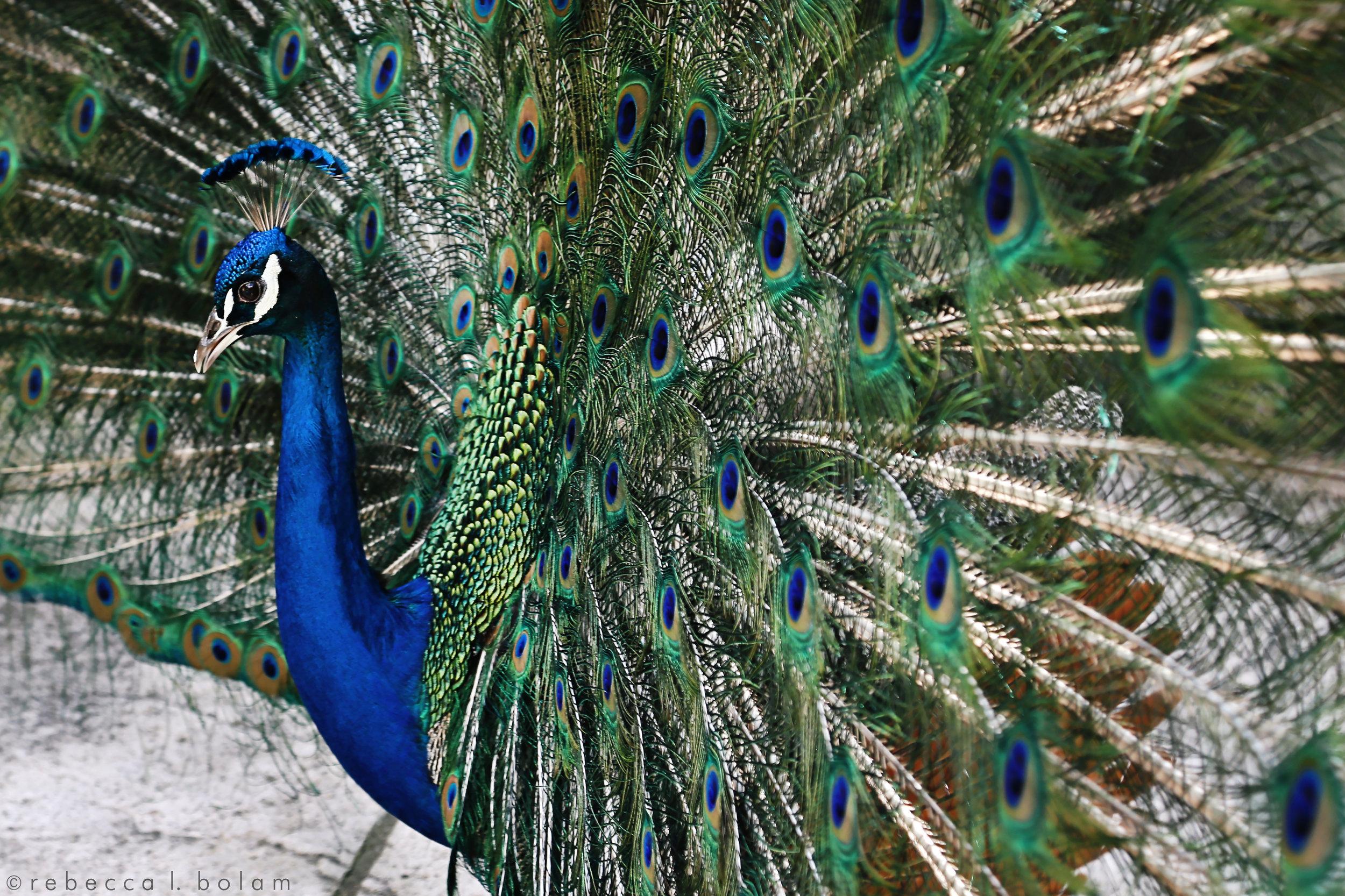 Peacock April 2017.jpg