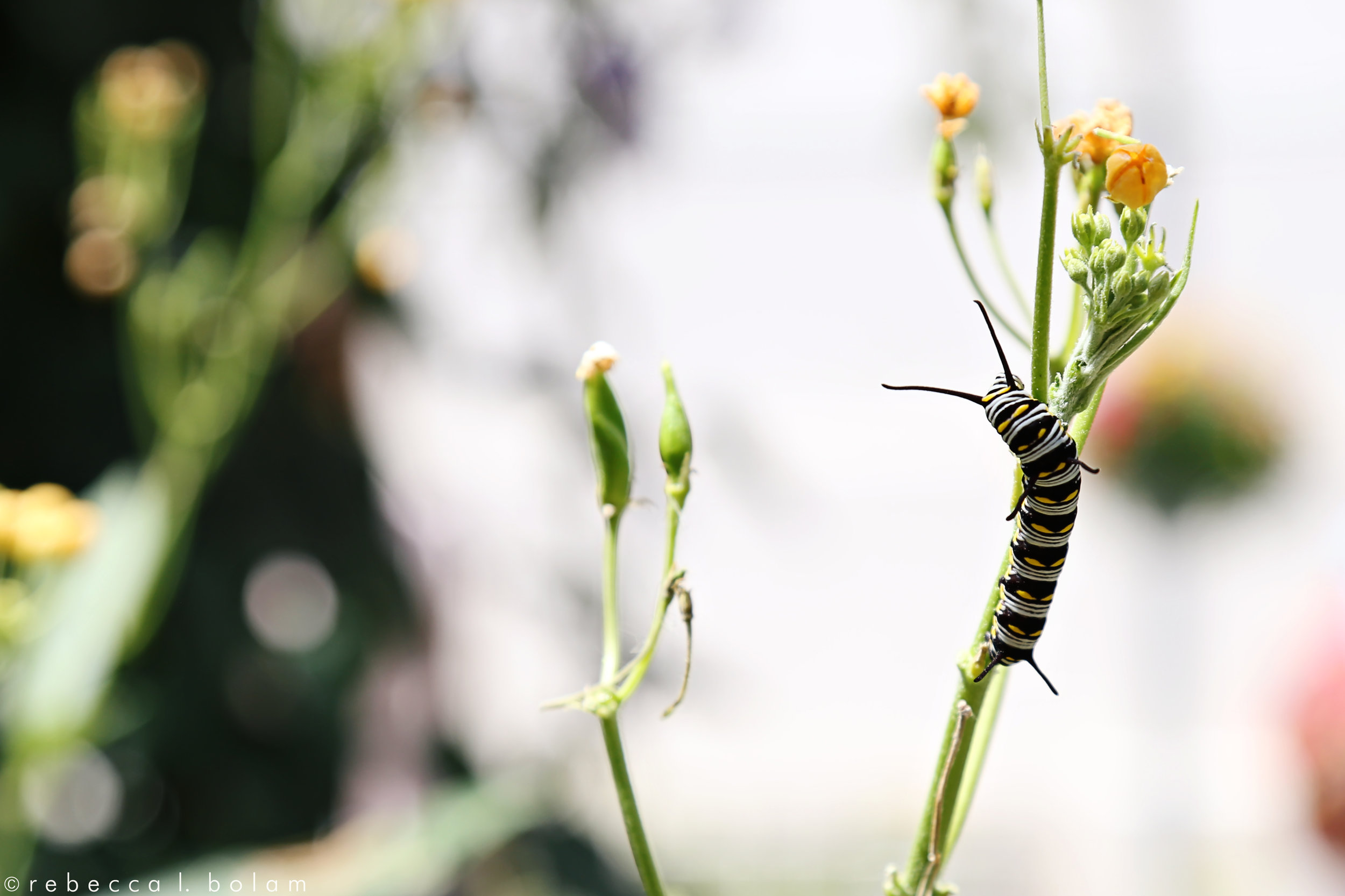 Caterpillar on Green Stem.jpg