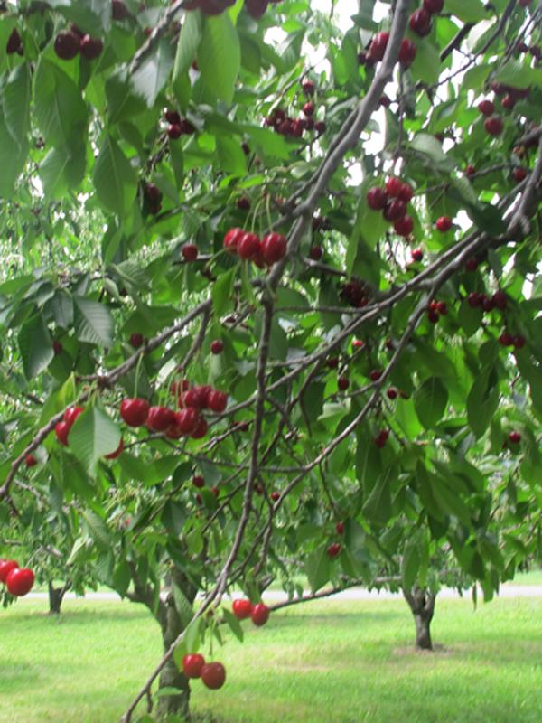 cherrypie08.jpg