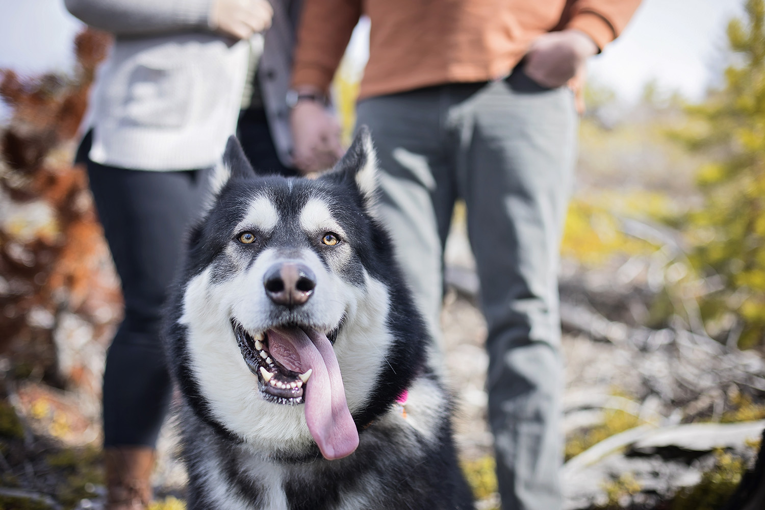 Big black and white husky in foreground with engaged couple behind him