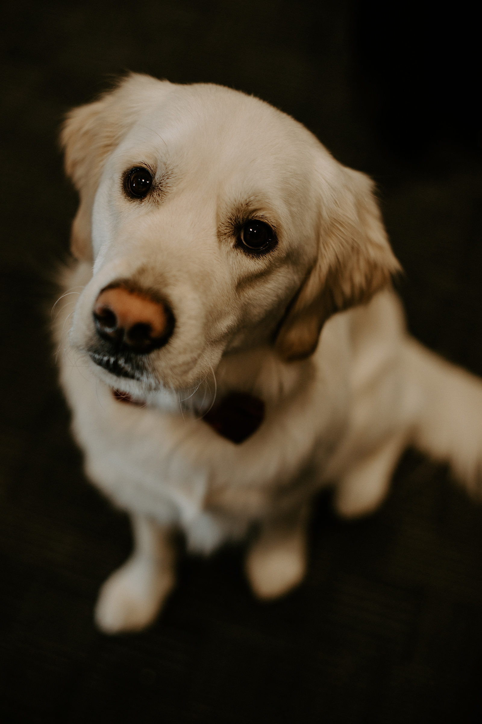 Portrait of White golden retriever looking up at camera