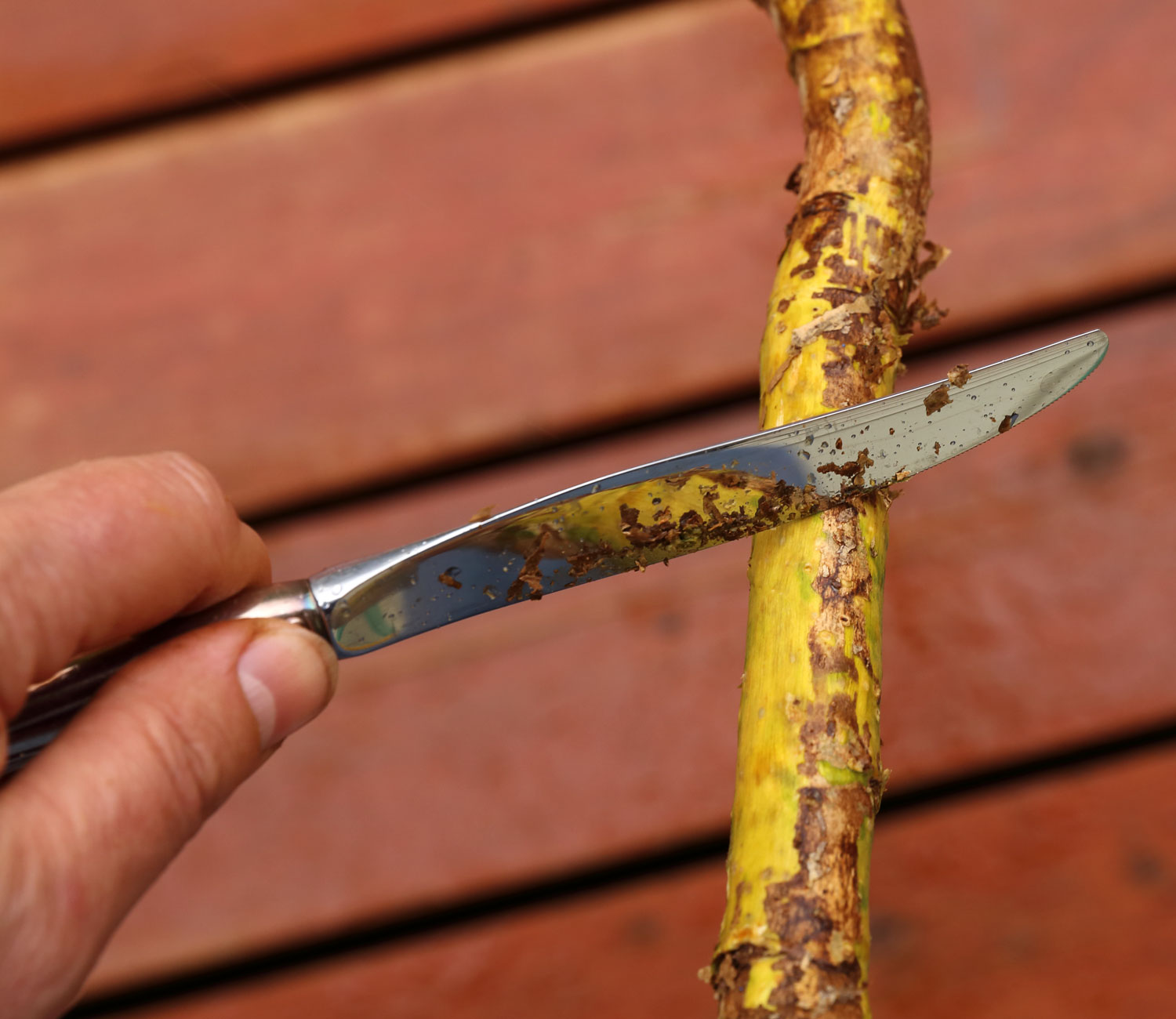 A knife can also be used to scrape the outer bark off.