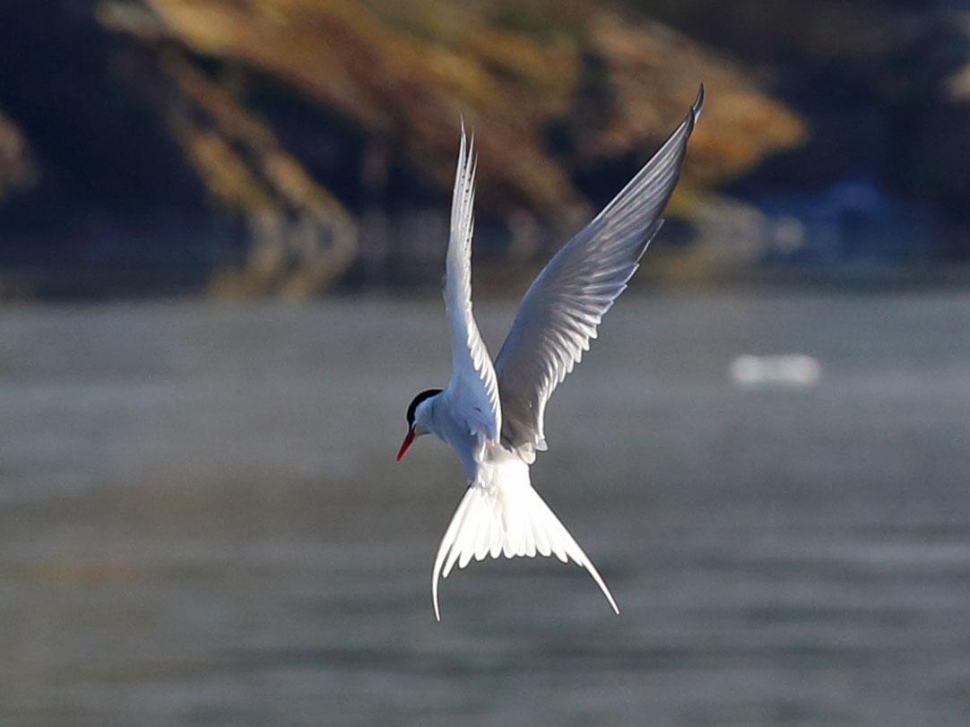 Arctic tern hovering Juneau Alaska