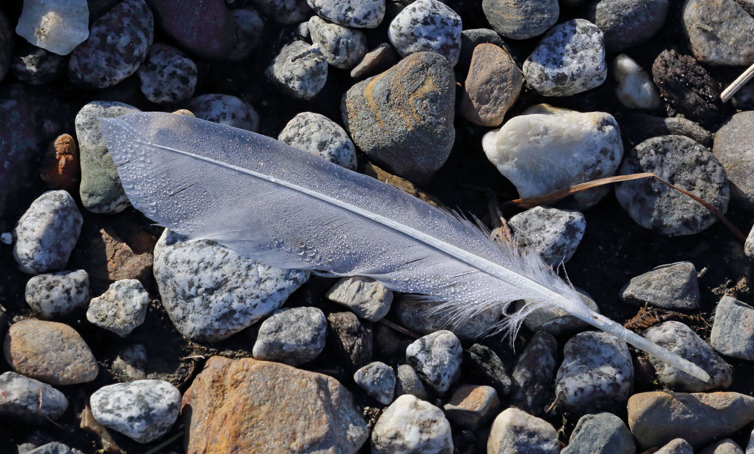 Arctic tern feather Juneau Alaska