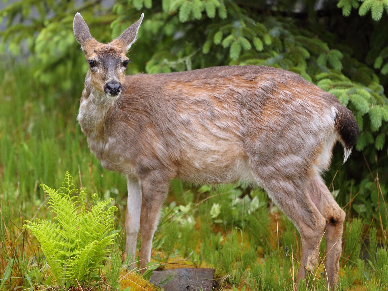 Sitka Blacktail Deer Doe Southeast Alaska