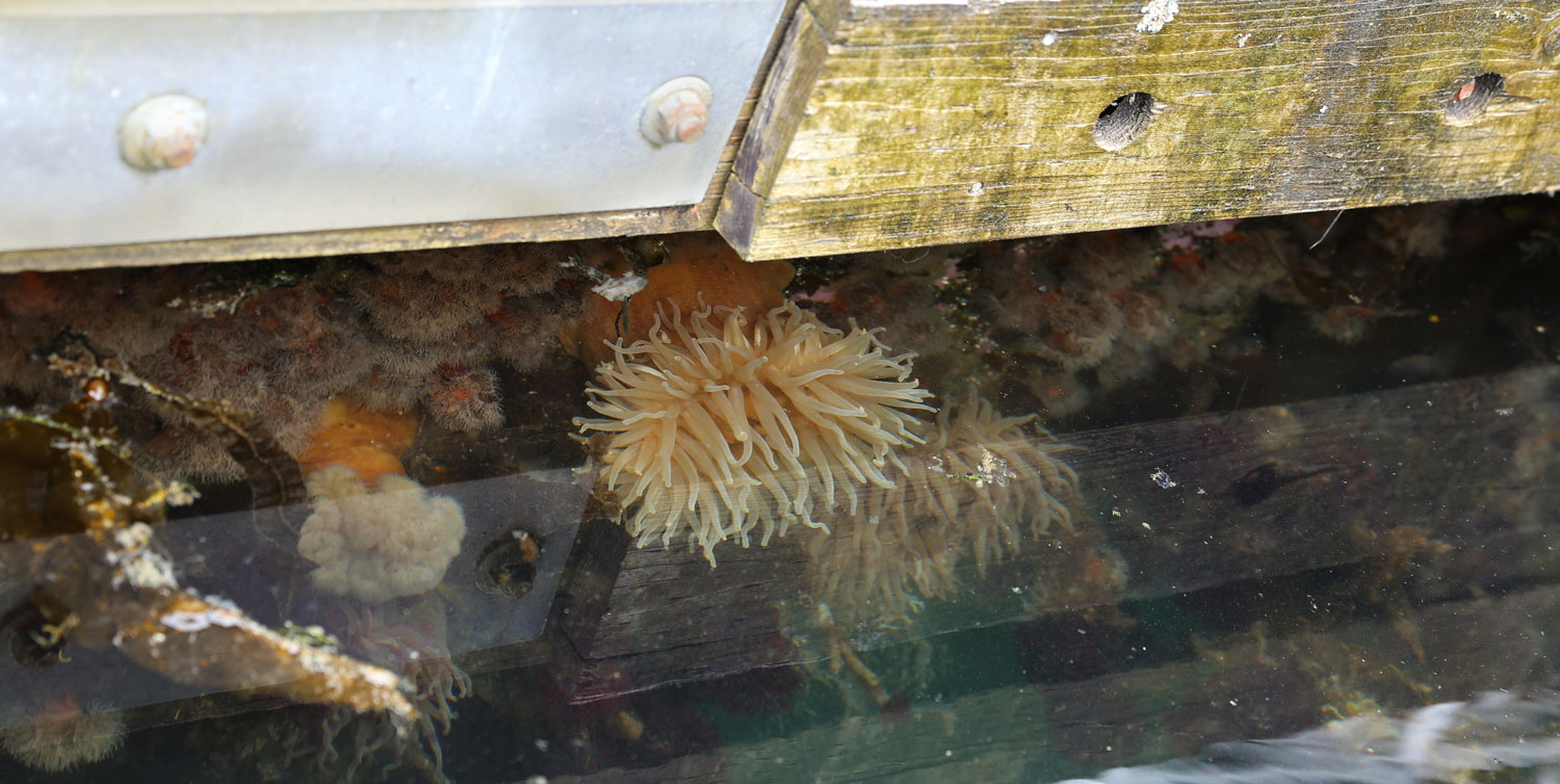 Marine growth on the dock. A large sea anemone is in the center.