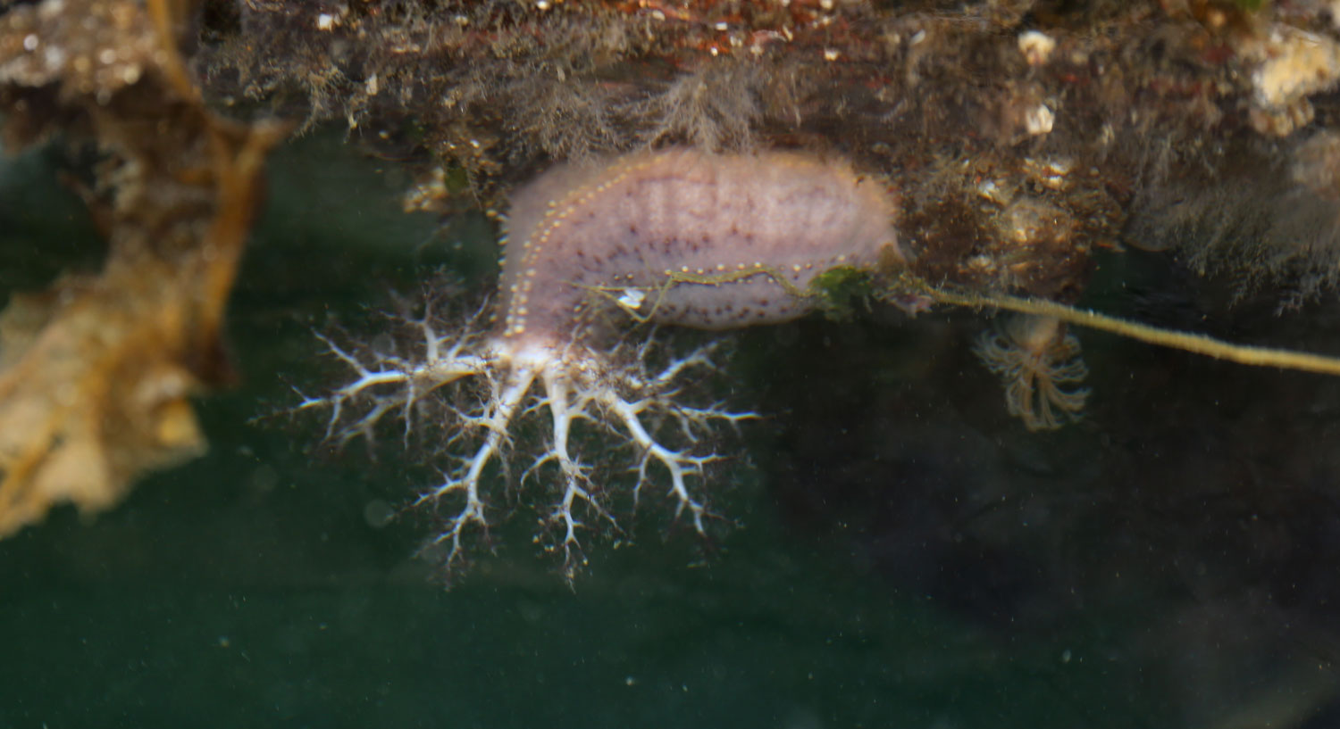 Sea cucumber with tentacles extended.