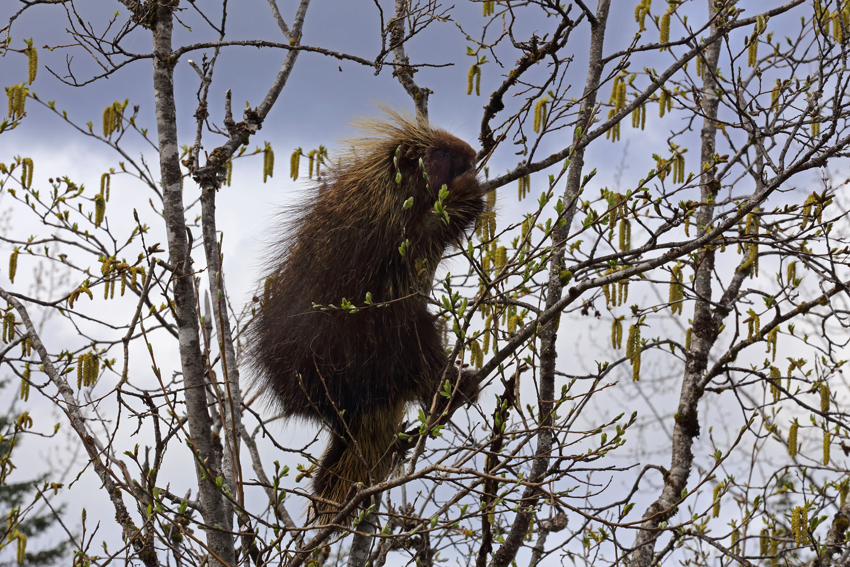 Porcupine in willow tree Southeast Alaska