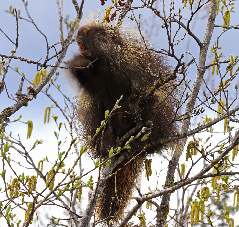 Porcupine in a willow tree Juneau Alaska