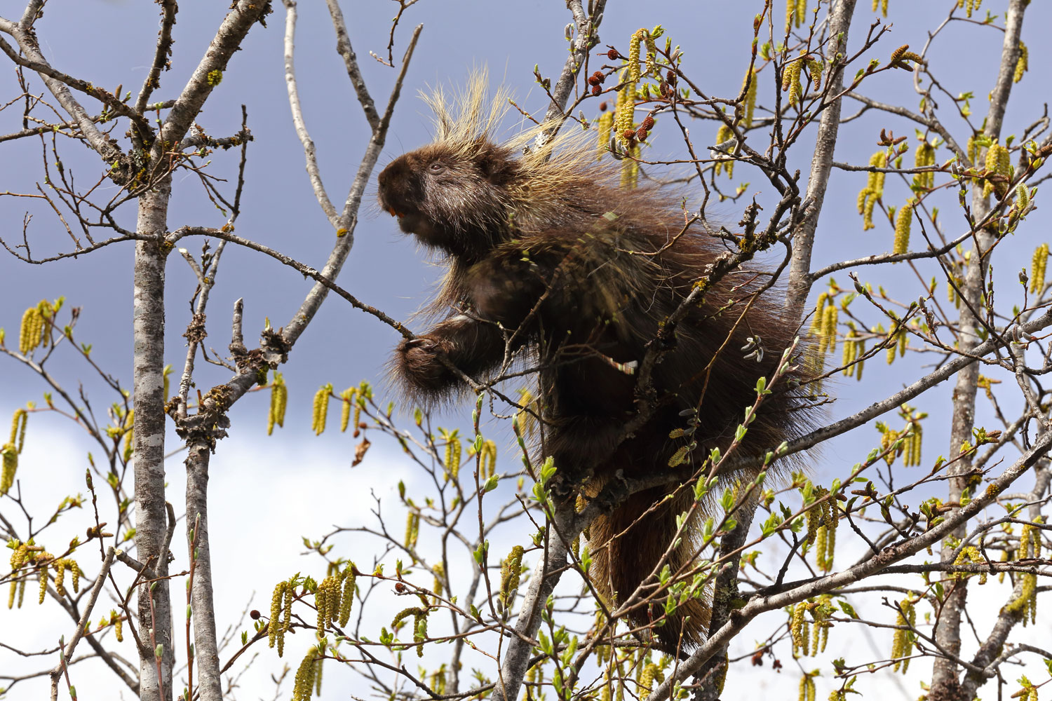 Porcupine in willow trees in Southeast Alaska
