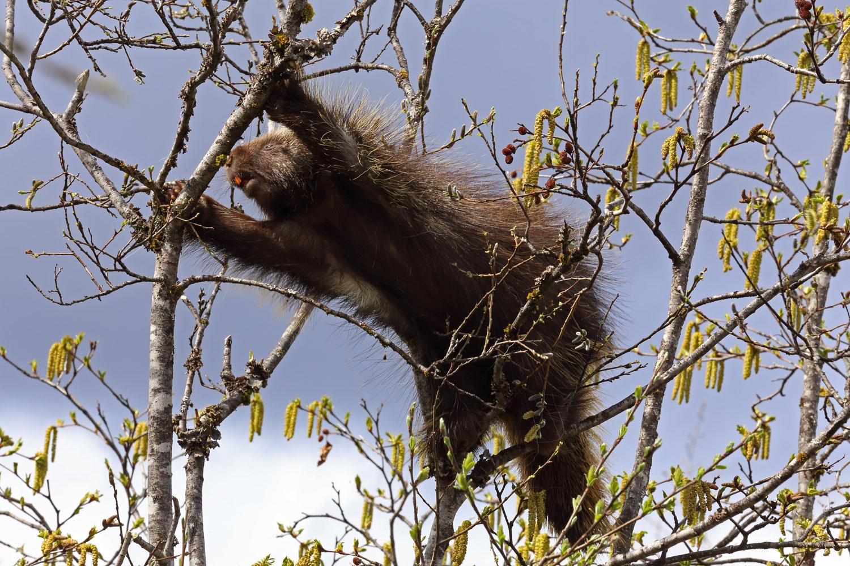 Porcupine changing trees in Juneau Alaska