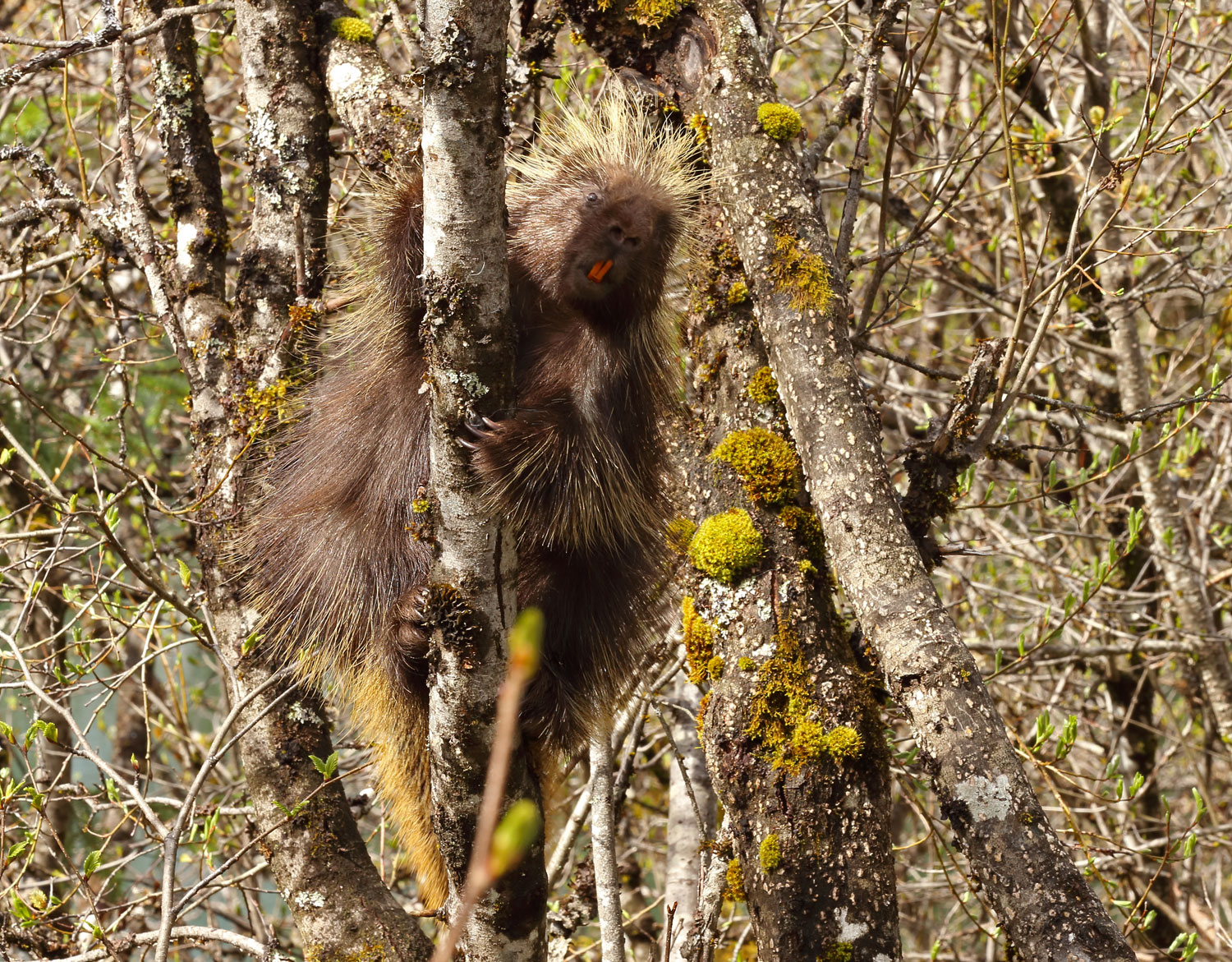 Porcupine on a willow trunk in Southeast Alaska