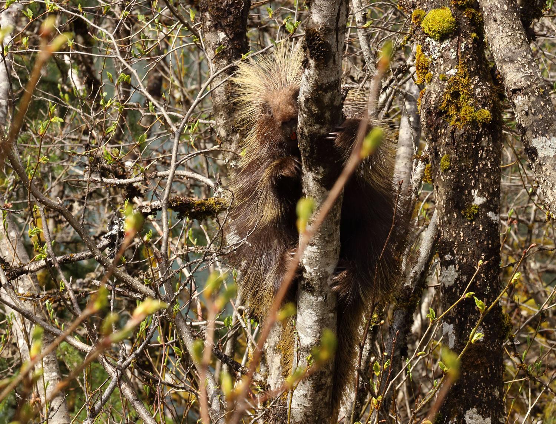 Porcupine in Alaska