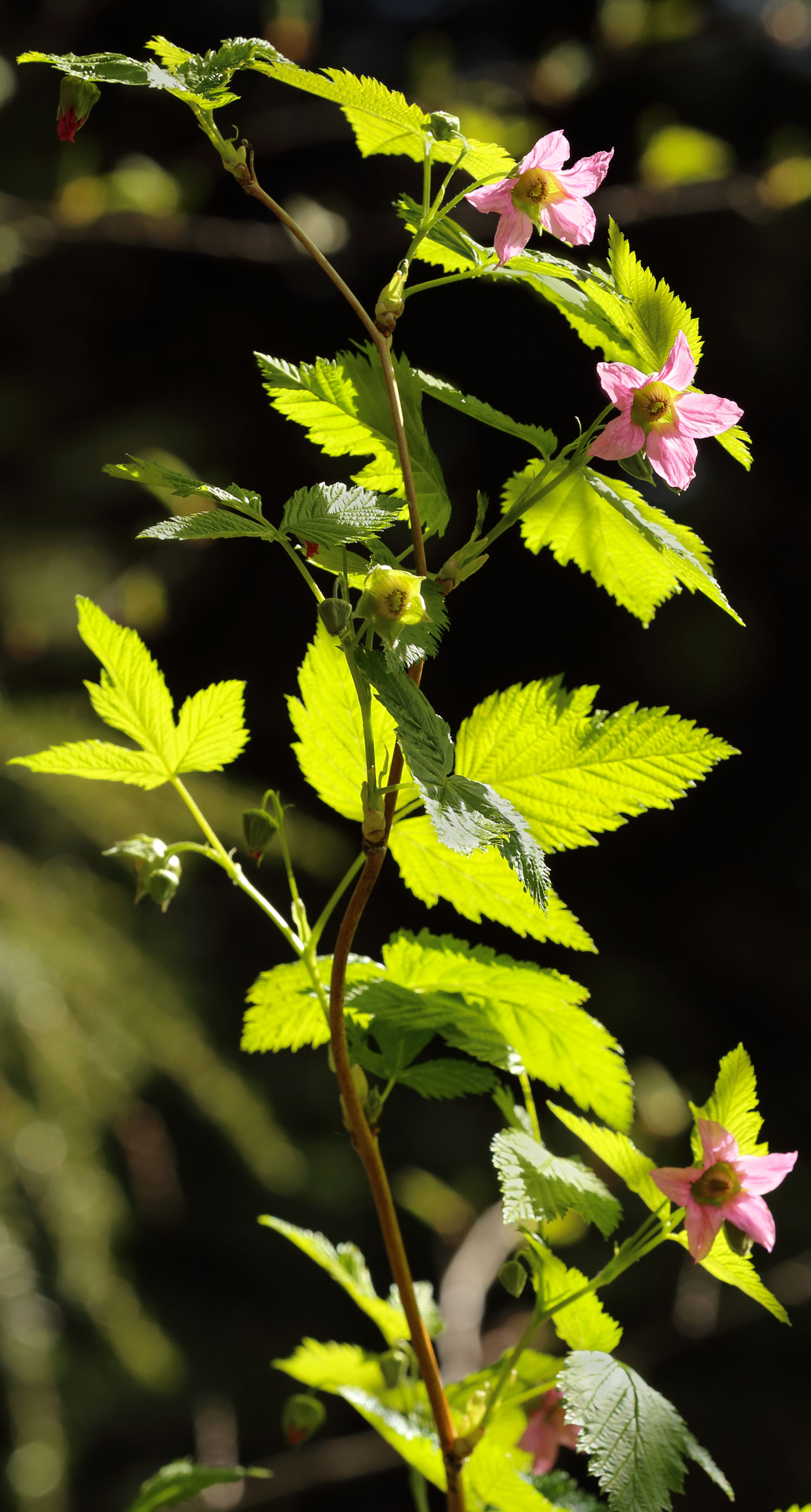 Salmonberry blossoms