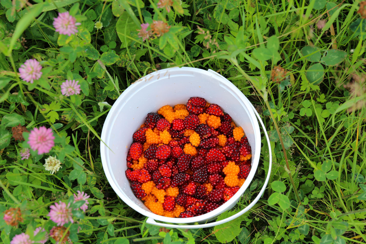 Salmonberries in an ice cream bucket