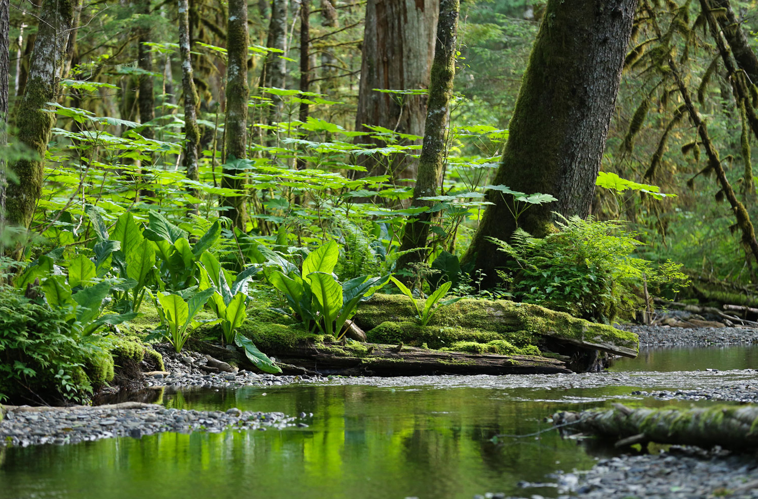 Forest stream in Southeast Alaska