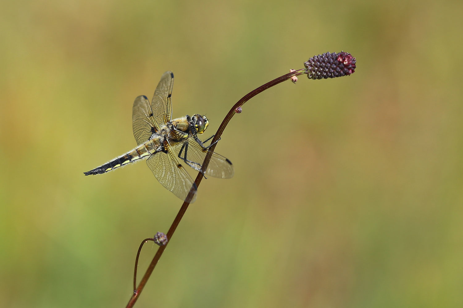 The Four-spotted skimmer dragonfly ( Libellula quadrimaculata ) perched on a Sitka burnett stem.