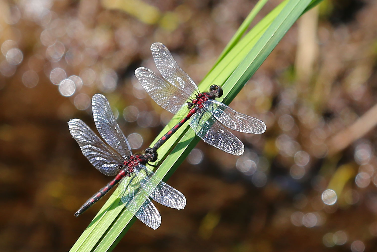 Hudsonian whiteface dragonflies ( Leucorrhinia hudsonica  ) in the tandem position.