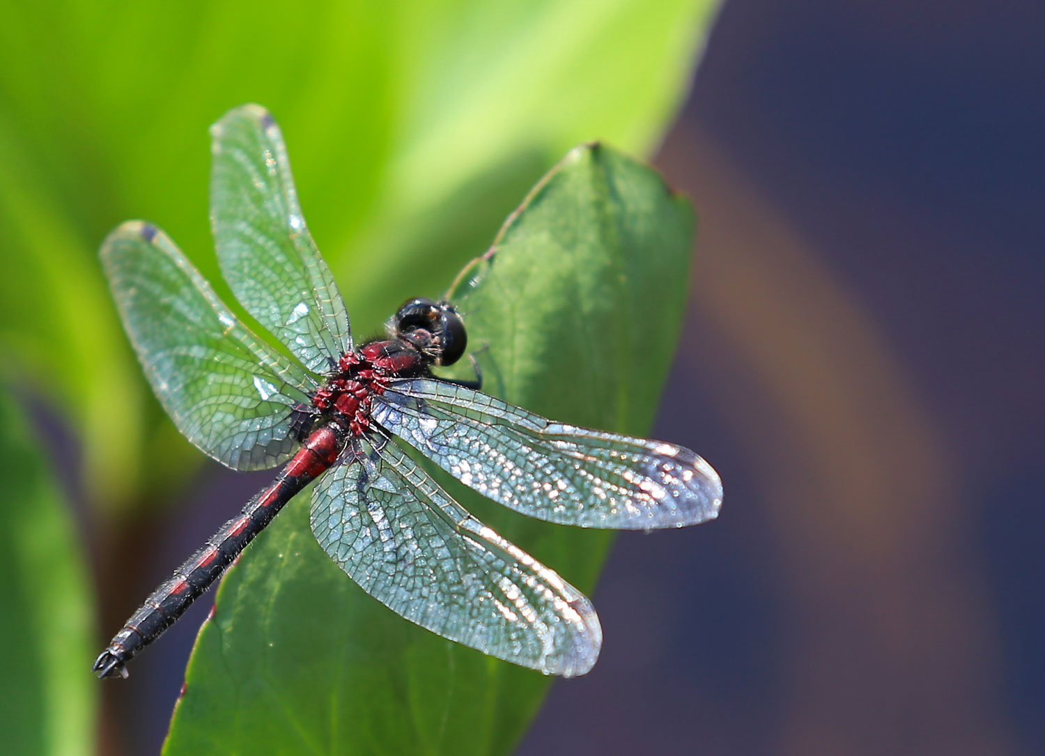 Hudsonian whiteface dragonfly on a buckbean leaf.