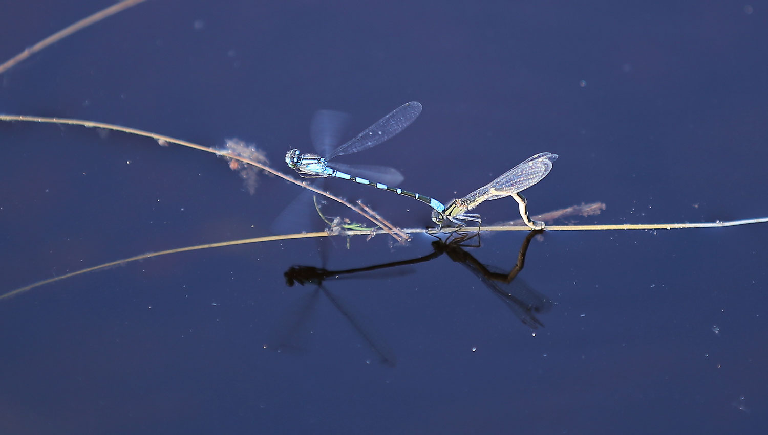 Damselflies laying eggs.