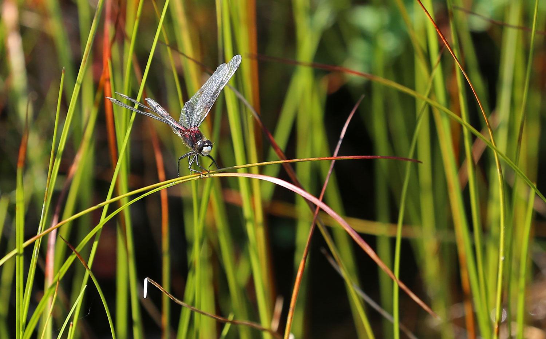 hudsonian whiteface dragonfly southeast Alaska