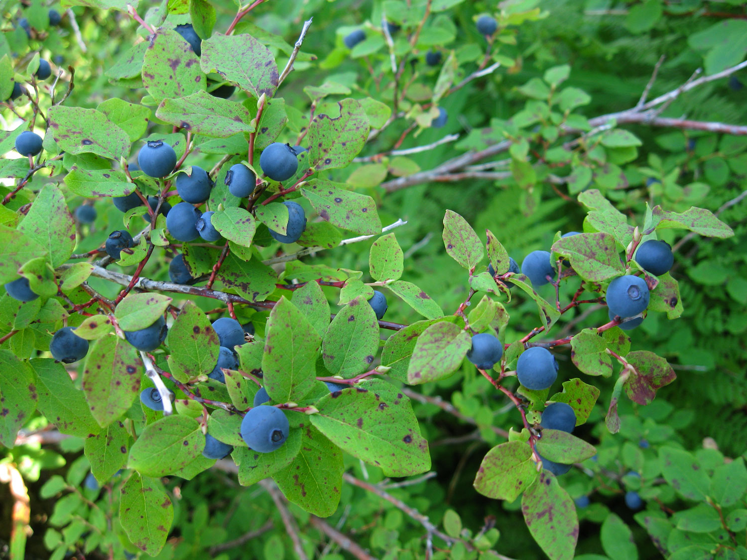 Oval-leaved blueberry ( Vaccinium ovalifolium )