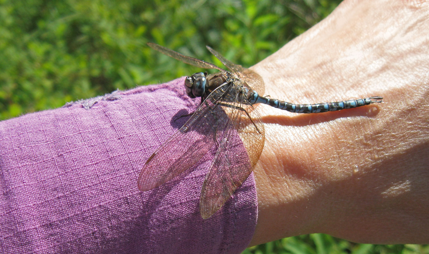 Darner dragonfly stopping by for a visit.