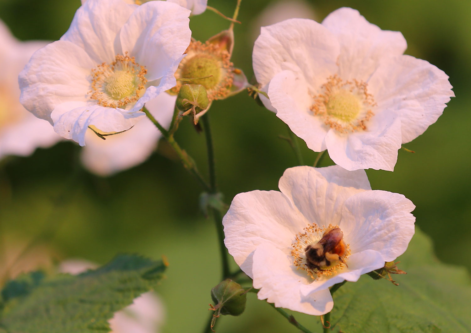 A bumblebee working thimbleberry blossoms.