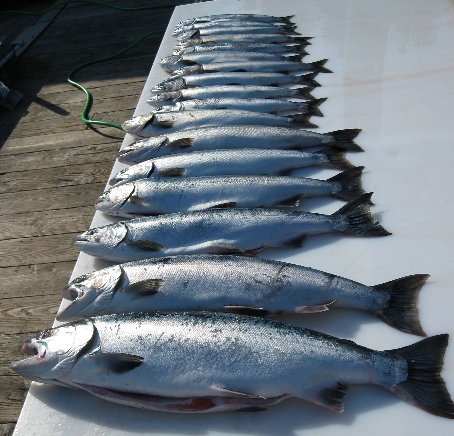Silver (coho) salmon and pink (humpy) salmon. The closest silver salmon weighed 13 pounds (6 kg) after it was cleaned.