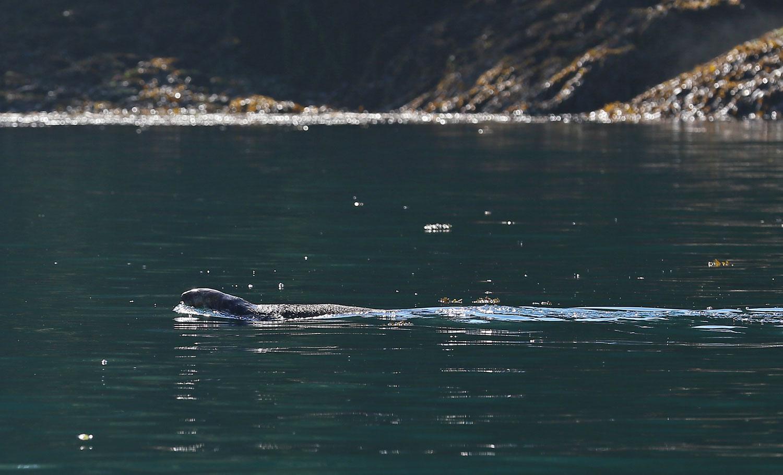Sea_otter_Point_Baker_0648.jpg