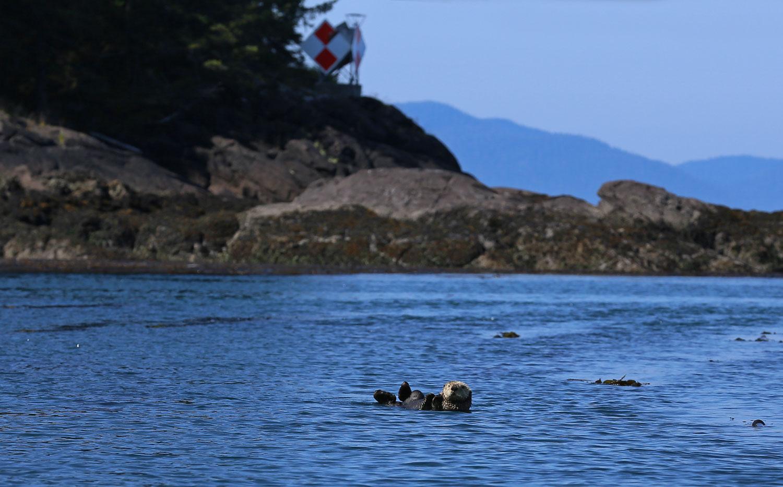 Sea otter near Point Baker