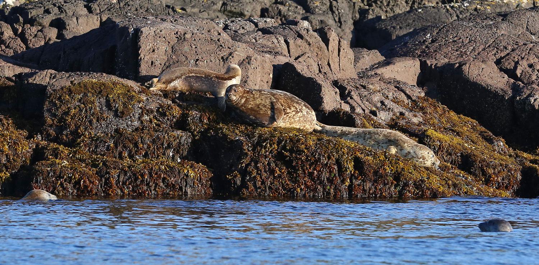 Harbor seals on rocks Point Baker Alaska