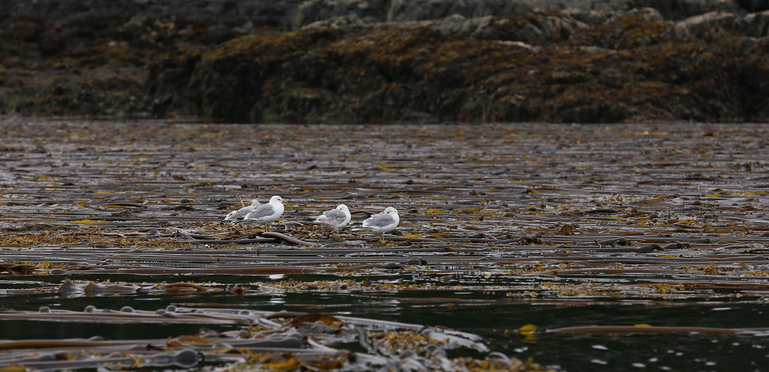 Seagulls napping in a kelp bed.