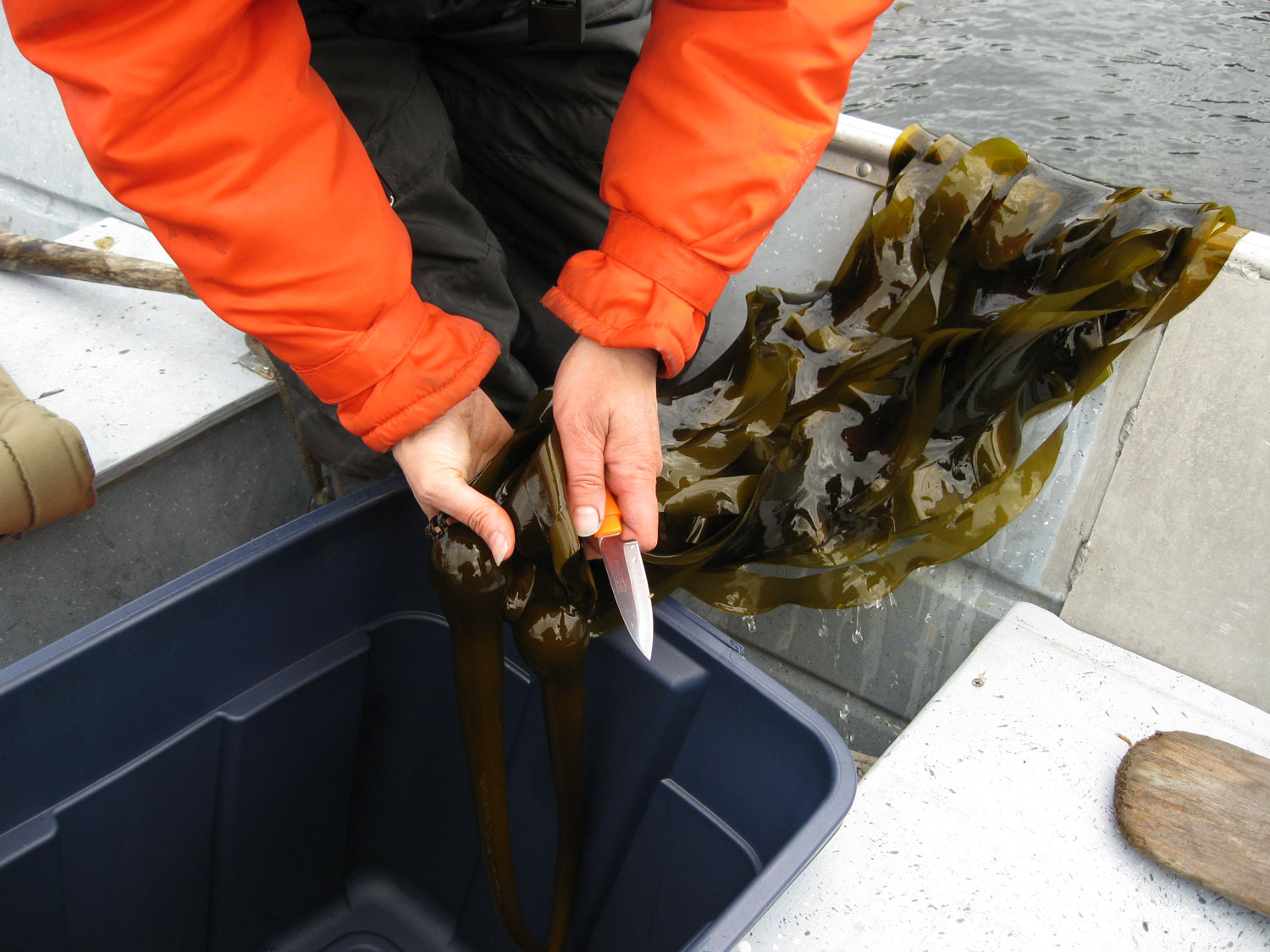 bull kelp seaweed harvest forage gather collect edible pickles Southeast Alaska