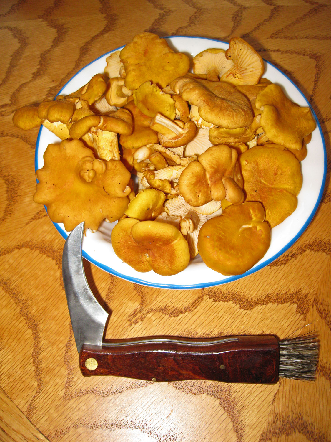 A mushroom knife with a brush is helpful when harvesting golden chanterelles or any mushrooms. These small, young chanterelles were harvested early in the season.
