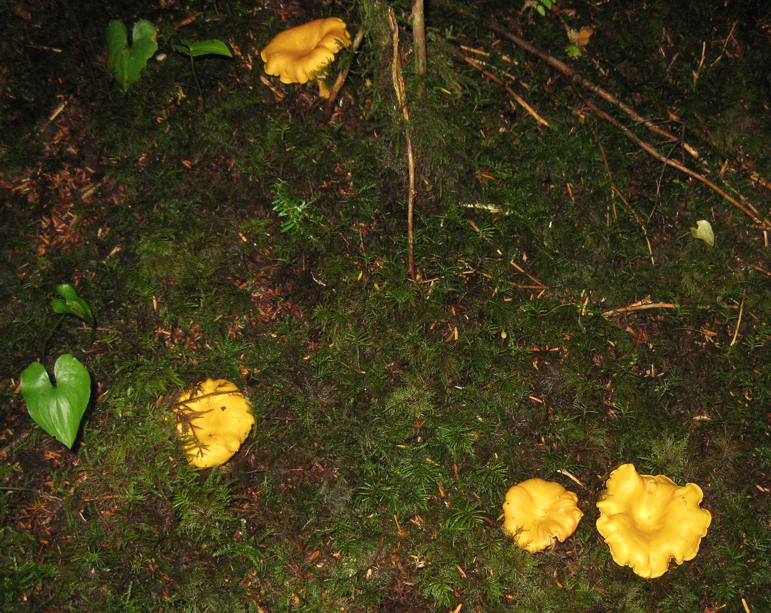 Golden chanterelles are a splash of color in the forest.