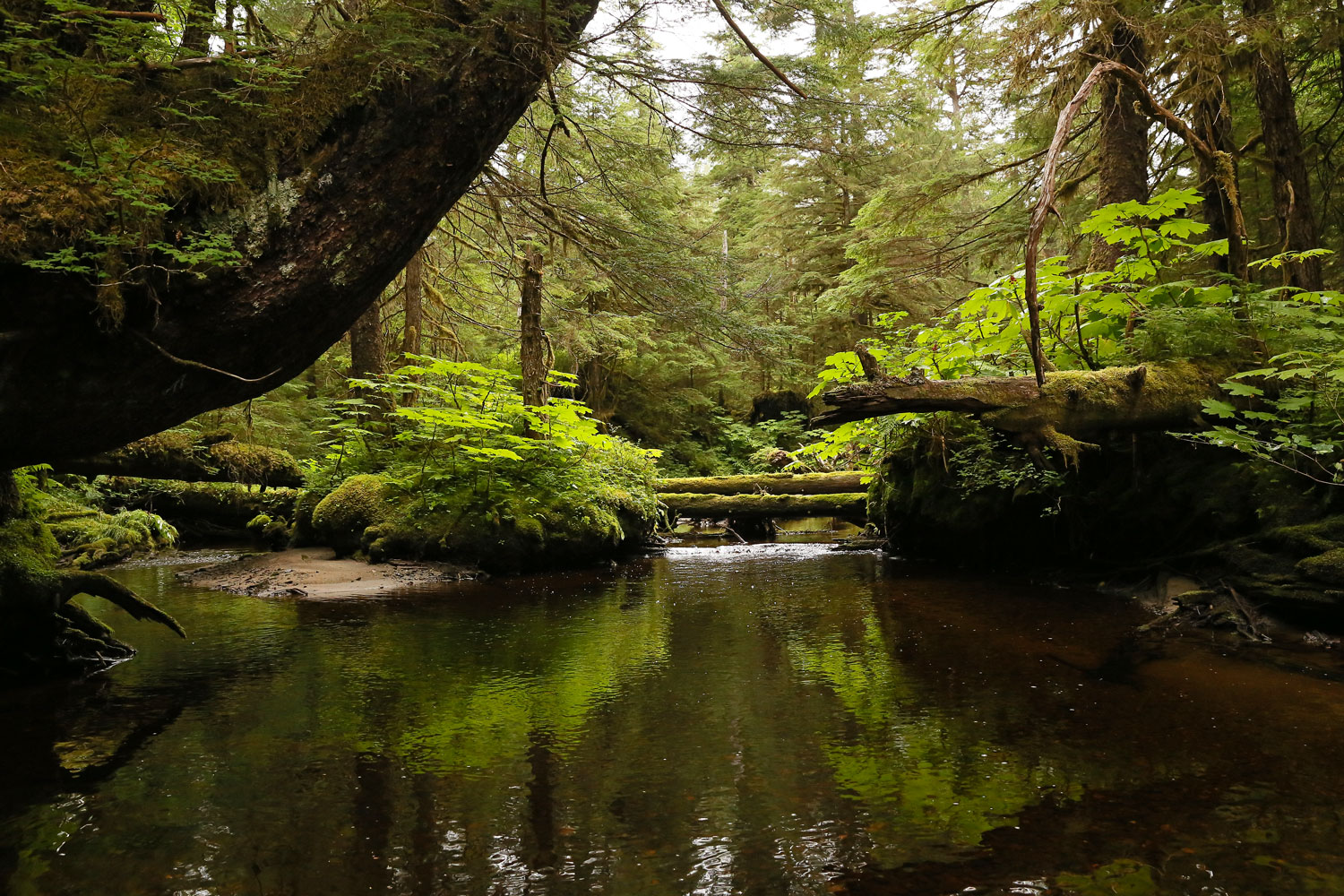 Forest stream log bridges Southeast Alaska