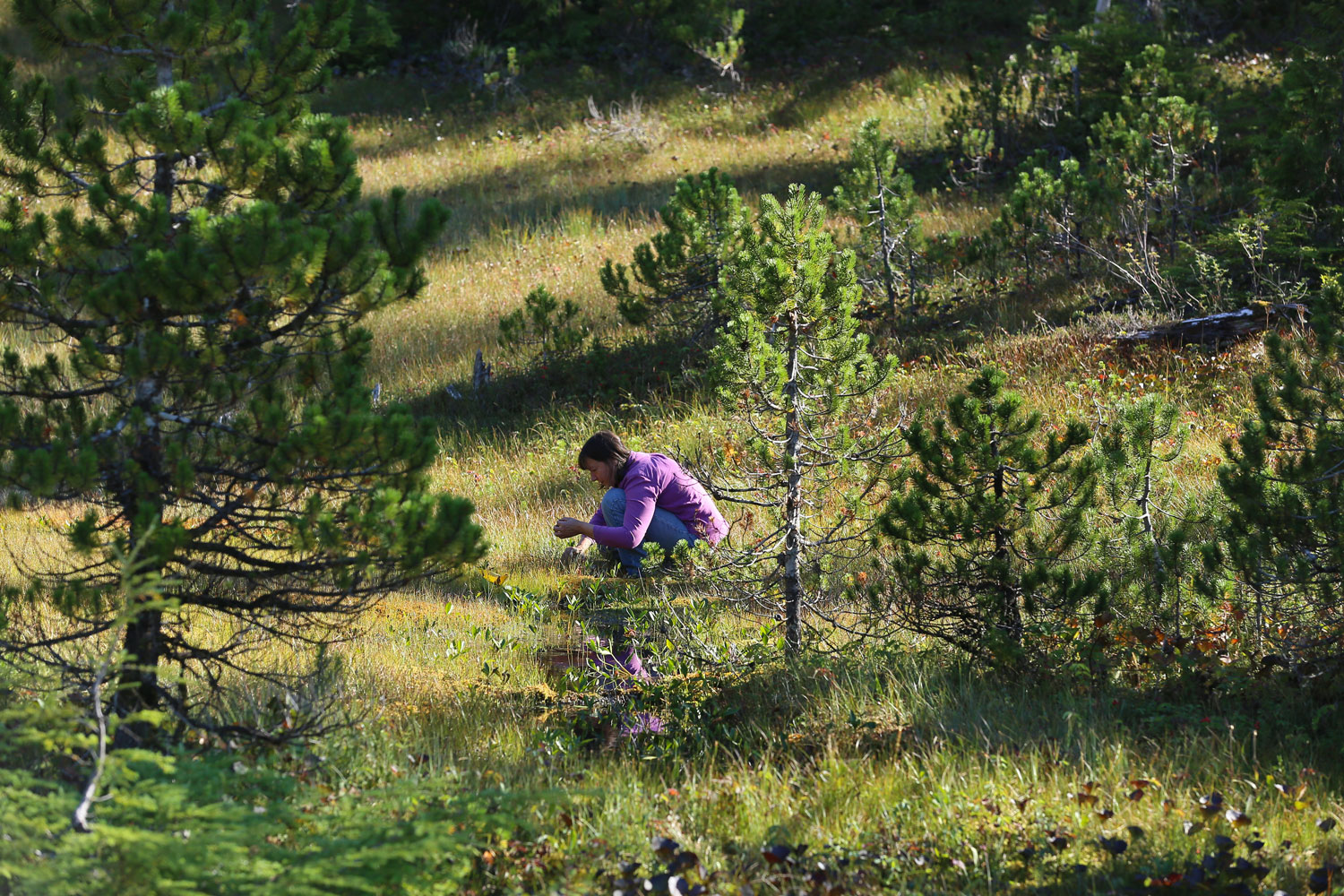 Picking medicinal plants in the muskeg. My sweetie took this picture.