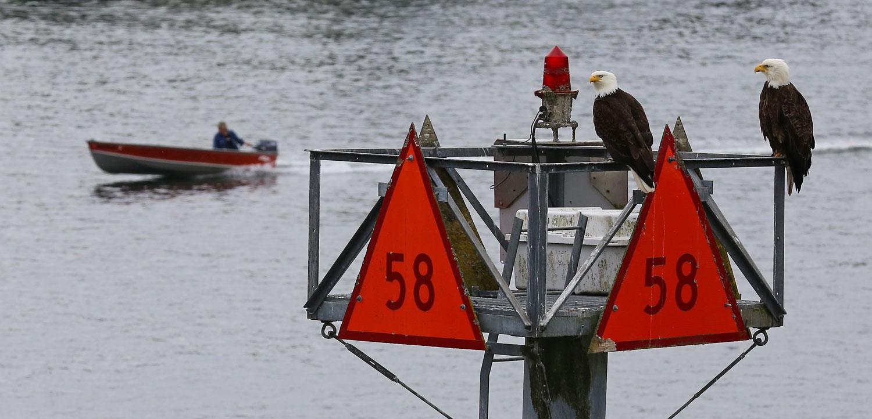 Bald eagles on a navigational marker near Petersburg