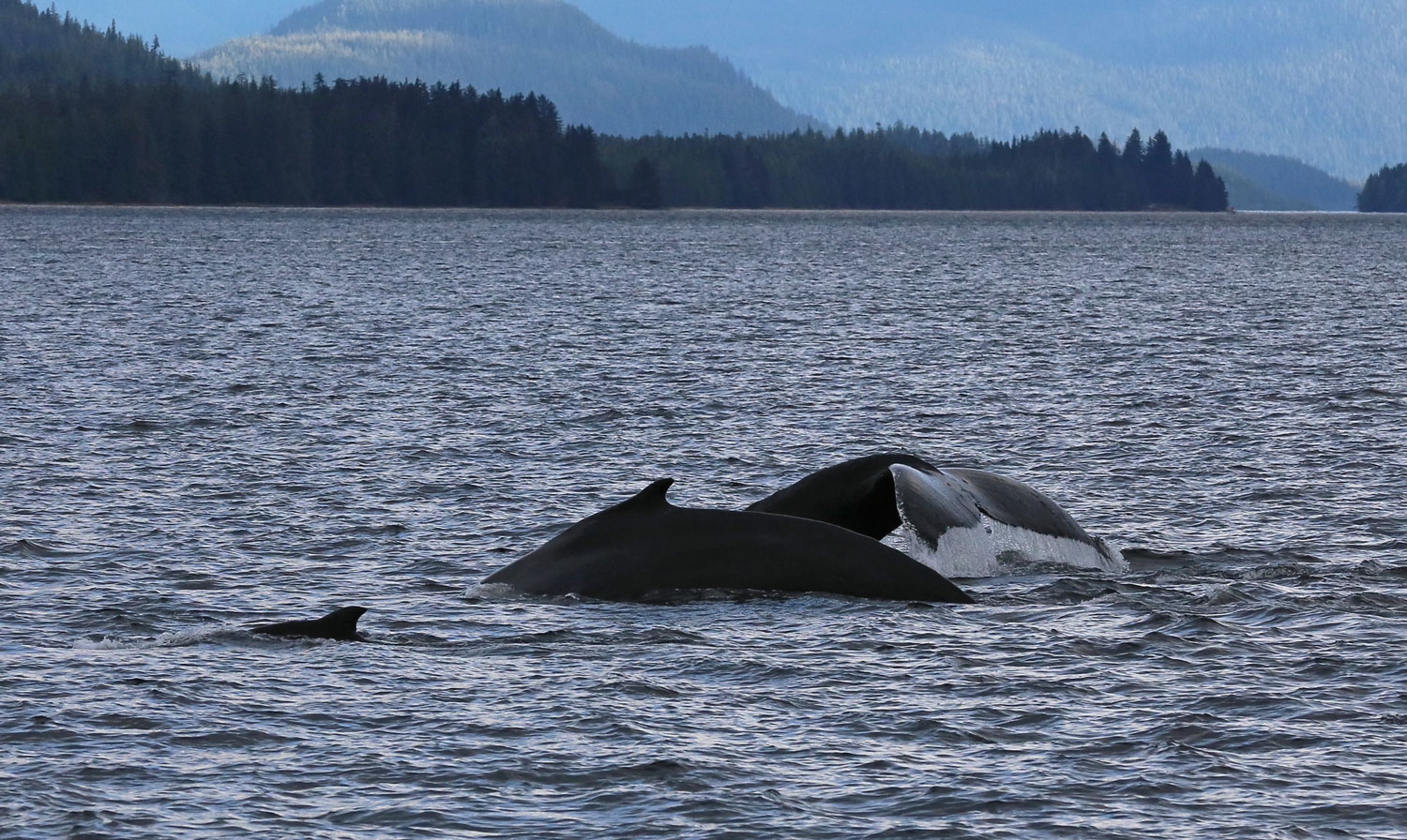Humpback whales in Southeast Alaska